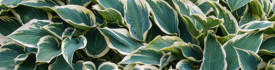 700 hostas<br>20 new and special ones
